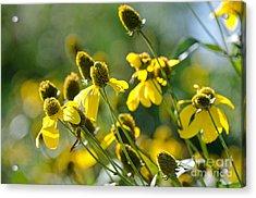 Rudbeckia 'autumn Sun' Acrylic Print