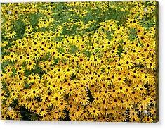 Rudbeckia Fulgida Deamii Flowers Acrylic Print
