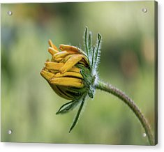 Acrylic Print featuring the photograph Rudbeckia Fuzzy Bud by Patti Deters