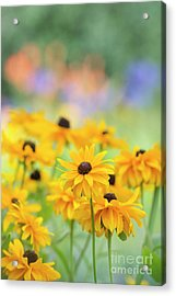 Rudbeckia Indian Summer Flowers Acrylic Print by Tim Gainey