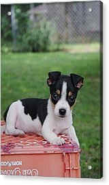 Rudy The Rat Terrier Acrylic Print by Rebecca Poole