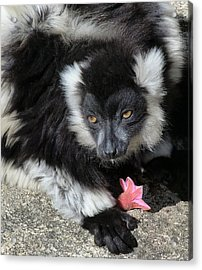 Ruffed Lemur With Pink Flower Acrylic Print by Margaret Saheed