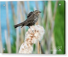 Ruffled Feathers Acrylic Print by Mike Dawson