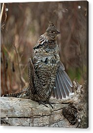 Ruffled Grouse Drumming Acrylic Print by Gary Langley