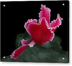 Ruffled Pink Cyclamen Acrylic Print by Nikolyn McDonald