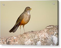 Rufous-bellied Thrush Turdus Acrylic Print by Panoramic Images
