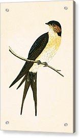 Rufous Swallow Acrylic Print
