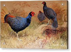Rufous Tailed Crested Pheasant Acrylic Print