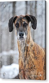 Acrylic Print featuring the photograph Rufus Dagoofus Great Dane by Lila Fisher-Wenzel