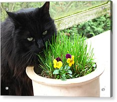Rumbles Eating Grass Acrylic Print
