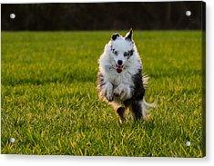 Running Australian Shepherd Acrylic Print by Daniel Precht