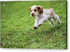 Running Cocker Spaniel Puppy Acrylic Print by Dan Sproul