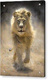 Running Lion Acrylic Print by Stu  Porter