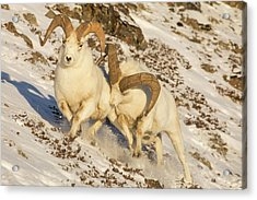 Running Off The Intruder Acrylic Print by Tim Grams