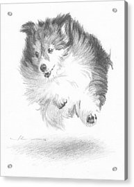 Running Sheltie Pencil Porrait Acrylic Print by Mike Theuer