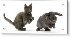 Russian Blue Kitten With Blue Lop Rabbit Acrylic Print