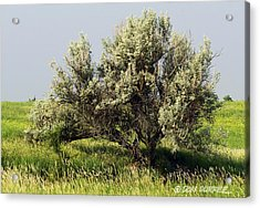 Russian Olive On The Prairie Acrylic Print by Don Durfee