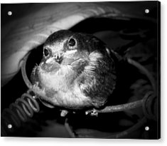 Rusted Perch - Baby Barn Swallow  Acrylic Print by Christena Stephens
