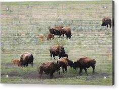 Rustic Yellowstone Bison Herd Acrylic Print