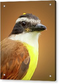 Rusty Margined Flycatcher Parque Del Cafe Colombia Acrylic Print