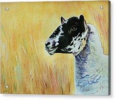 Rutland Sheep  Acrylic Print by Lucy Deane