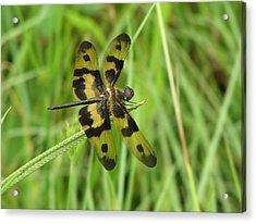 Ryothemis Dragonfly Acrylic Print