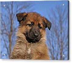 Sable German Shepherd Puppy II Acrylic Print by Sandy Keeton