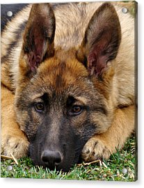 Sable German Shepherd Puppy Acrylic Print