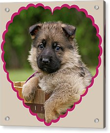 Acrylic Print featuring the photograph Sable Puppy In Heart by Sandy Keeton
