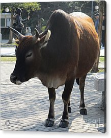 Acrylic Print featuring the photograph Sacred Cow 2 by Randall Weidner