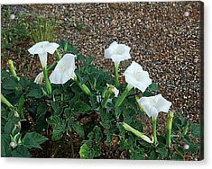 Sacred Datura 2278 Acrylic Print by David Mosby