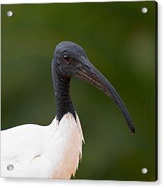 Sacred Ibis Acrylic Print