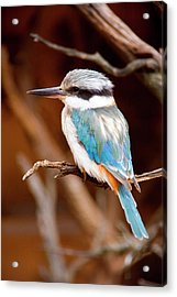 Sacred Kingfisher Acrylic Print by Mike  Dawson