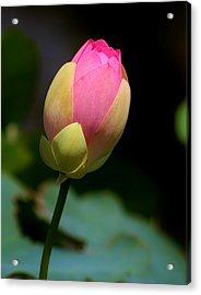 Sacred Lotus Bud 3 Acrylic Print