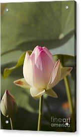 Sacred Lotus - Nelumbo Acrylic Print by Sharon Mau
