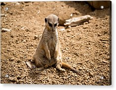 Acrylic Print featuring the photograph Sad Meerkat by Scott Lyons
