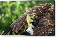 Acrylic Print featuring the photograph Safe Place by Eva Lechner