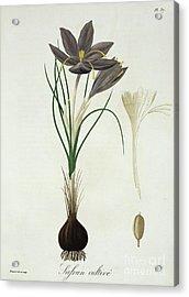 Saffron Crocus Acrylic Print
