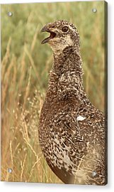 Sage Grouse Calling Acrylic Print by Max Allen