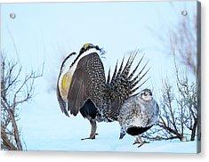 Sage Grouse Acrylic Print by Dennis Hammer