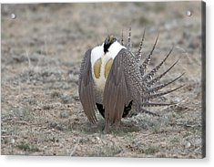 Sage Grouse Acrylic Print