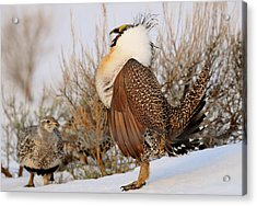 Sage Grouse Strut Acrylic Print by Dennis Hammer