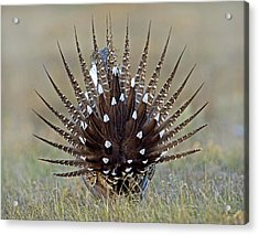 Sage-grouse Tail Fan Acrylic Print