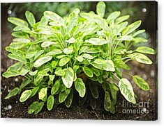 Sage Plant Acrylic Print by Elena Elisseeva