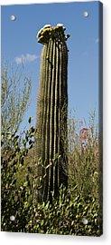 Acrylic Print featuring the photograph Saguaro Cactus by Daniel Hebard