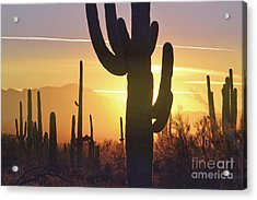 Saguaro Cactus Golden Sunset Mountain Acrylic Print by Andrea Hazel Ihlefeld