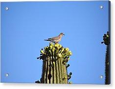 Saguaro Dove 1 Acrylic Print