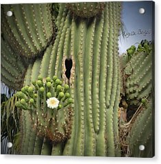 Saguaro In Bloom Acrylic Print
