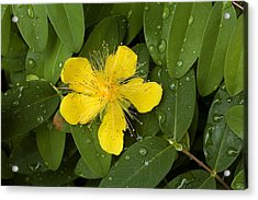 Saint Johns Wort Flower And Foliage Acrylic Print by Todd Gipstein