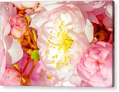 Acrylic Print featuring the photograph Sakura Cherry Flower - Wedding Of Nature by Alexander Senin